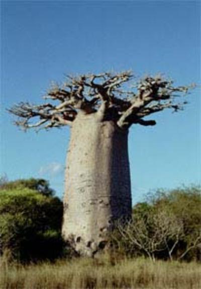 Baobab31
